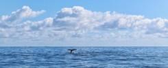 bálna a Samana-öbölben