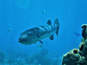 tengeri horgászat barrakuda Dominika